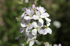 Gilliflower Hesperis matronalis Royalty Free Stock Image