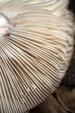 Gills. Detail of the underside of a mushroom with white gills royalty free stock image