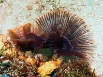 Gills of sea worm Royalty Free Stock Photography