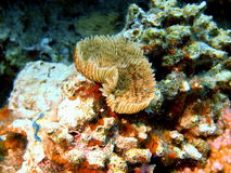 Gills of sea worm, Red sea, Dahab Stock Photos