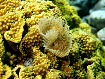 Gills of sea worm, Red sea, Dahab Royalty Free Stock Image