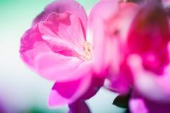 Gillyflower cor-de-rosa Foto de Stock Royalty Free