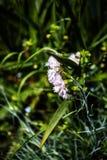 Gillyflower in garden. Pink gillyflower in grass in the garden Royalty Free Stock Photo