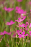 Gillyflower. Pink flowers in the morning on a meadow Stock Images