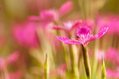 Gillyflower. Pink flowers in the morning on a meadow Stock Photo
