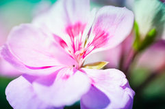 Gillyflower Pink And White Stock Photos