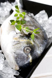 Gilt-head. Bream on ice Stock Images