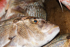 Gilt-head bream Royalty Free Stock Photos