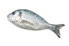 Gilt-head bream Royalty Free Stock Photo