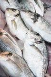 Gilt-head bream. Fresh gilt-head bream to fish market Stock Photos