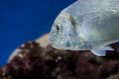 Gilt-head bream. (sparus aurata Stock Image