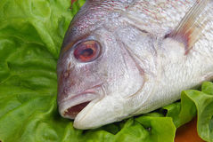 Gilt head bream  Stock Photo