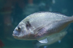 Gilt Head Bream. On Blue Background Closeup Stock Photo