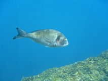 Gilt-head bream fish Sparus aurata underwater Royalty Free Stock Images
