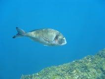 Gilt-head bream fish Sparus aurata underwater Royalty Free Stock Images