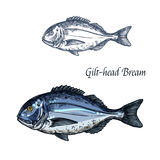 Gilt-head bream fish vector isolated sketch icon. Bream fish vector sketch icon. Isolated sea or atlantic gilt-head bream or dorado fish. Isolated marine fauna Stock Images
