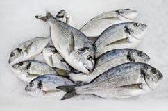 Gilt-head bream. Fresh gilt-head bream or dorado fish, lying in the ice Stock Images