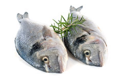 Gilt-head bream. In front of white background Royalty Free Stock Photo