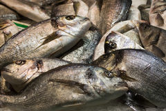 Gilt-head bream. A pile of Gilt-head bream at fish market. Unordered, raw, fresh Royalty Free Stock Photo