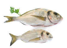 Gilt-head bream in studio. Gilt-head bream in front of white background stock images