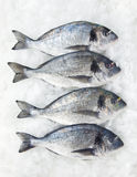 Gilt-head fish(four) Royalty Free Stock Images