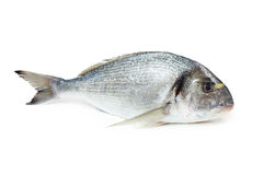 Gilt-head sea bream fish. Gilt-head sea bream, isolated on white Stock Photos