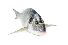Gilt-head sea bream fish. Gilt-head sea bream, isolated on white Stock Photography