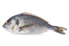 Gilt-head sea bream fish isolated Royalty Free Stock Photo
