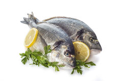 Gilt-head sea bream fishes isolated Royalty Free Stock Images