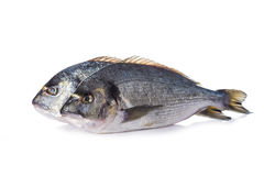 Gilt-head sea bream fishes isolated Royalty Free Stock Photography