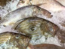 Gilt-head sea bream on ice at fishmonger display. Royalty Free Stock Photos