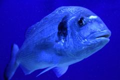 Gilt-head sea bream underwater. Gilt-head sea bream or Sparus Aurata swimming in deep blue underwater world stock photo