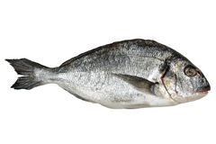 Gilt-head seabream. Fresh seabream isolated on white background Stock Image