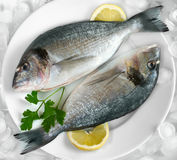 Gilthead Royalty Free Stock Image