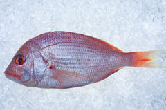 Gilthead Stock Images