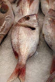 Gilthead bream Royalty Free Stock Photos