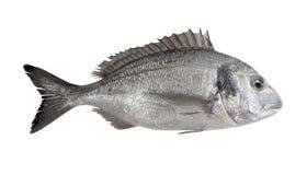 Gilthead Bream Fish. Realistic 3D Render of Gilthead Bream Fish Stock Photography
