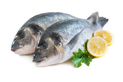 Gilthead sea breams fish. Some of Gilthead sea breams isolated on white background stock photography