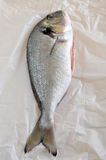 Gilthead seabream. Gilt head sea bream fish royalty free stock images
