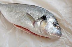 Gilthead seabream. Gilt head sea bream fish stock photo