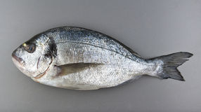Gilthead seabream on grey background Royalty Free Stock Photos