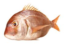 Gilthead Seabream Rouge. On white Background royalty free stock image