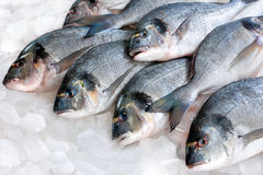 Gilthead (Sparus aurata) on ice Royalty Free Stock Photography