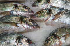 Gilthead (Sparus aurata) on ice in fish market Stock Photography