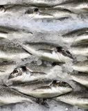Gilthuvudfisk på is Arkivbild
