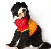 Gim dog. A cute dog in black gym suit Stock Photography