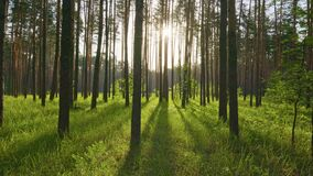 Gimbal shot of morning spring forest with lush