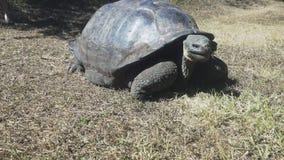 Gimbal som skjutas av en stor jätte- sköldpadda på islaen Santa Cruz i galapagosen stock video