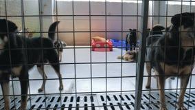Gimbal steadicam schot van droevige honden in schuilplaats achter omheiningswachten dat aan nieuw huis worden moet gered en worde stock video