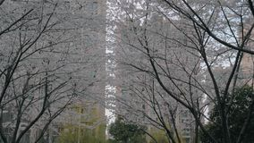 Gimbal steadicam van de steeg met bloeiende sakurabomen wordt geschoten op zonsondergang die stock footage
